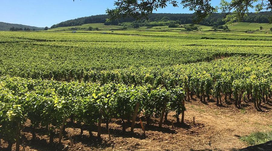 Les vignes en Bourgogne